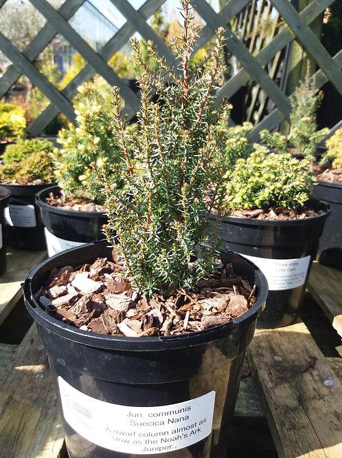 Juniperus communis Suecica Nana 2L