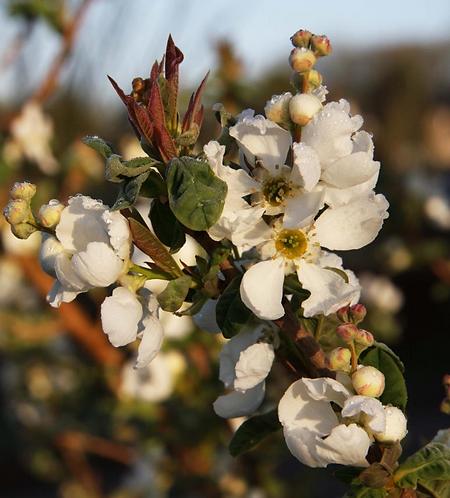 Prunus 'Ichiyo' 12L