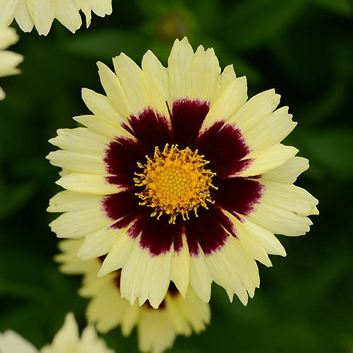 Coreopsis UpTick Cream Red 3L