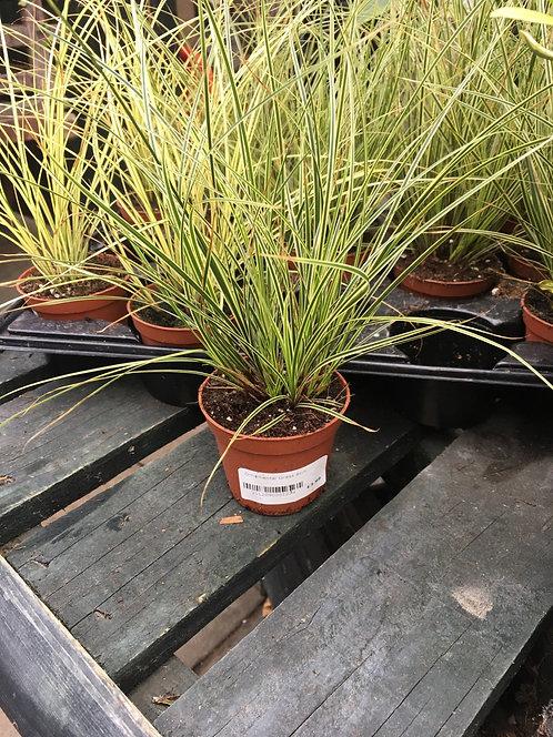 Ornamental grass 8cm