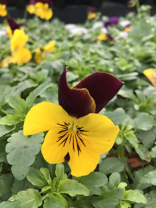 Pansy Cool Wave Red Wing 10.5cm (trailing)