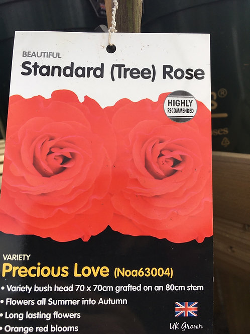 Rose Standard (Tree) 'Precious Love'