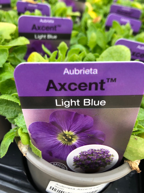 Aubrieta Light Blue