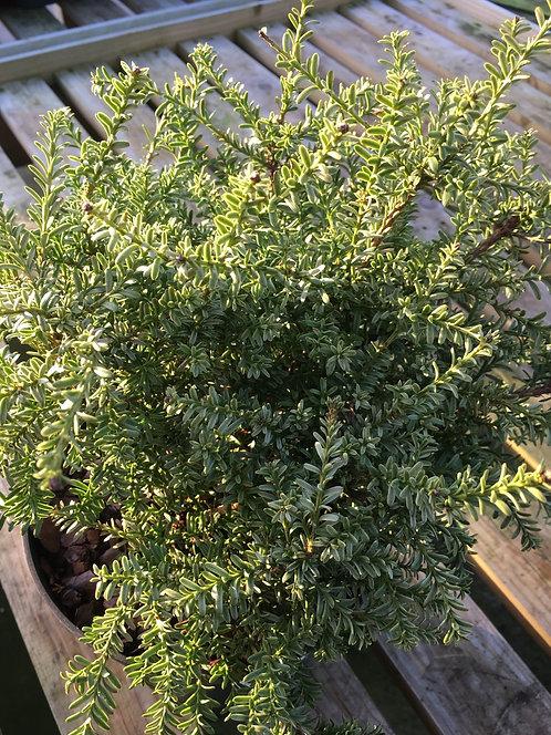 Podocarpus Kilworth Cream 3L