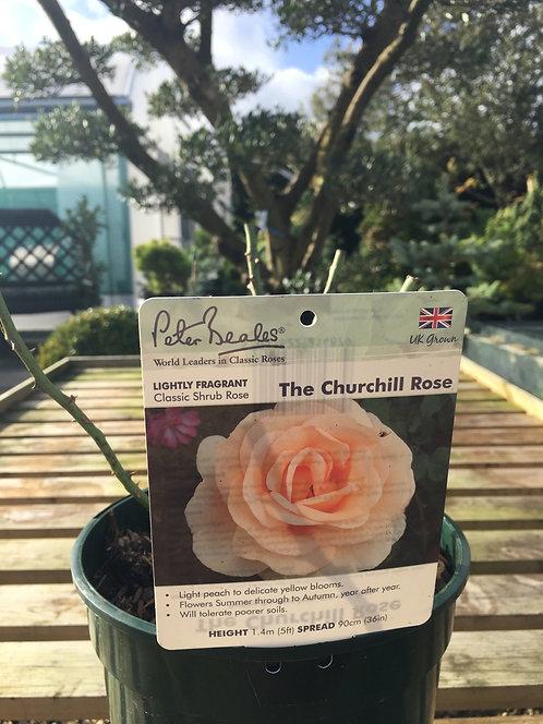 Peter Beales Classic Shrub Rose ' The Churchill Rose '