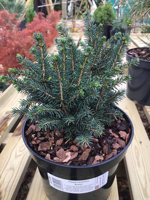 Picea omorica Karel 3L