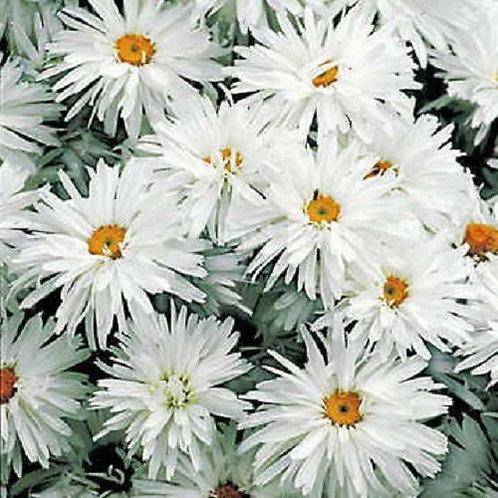 Leucanthemum Crazy Daisy 3L