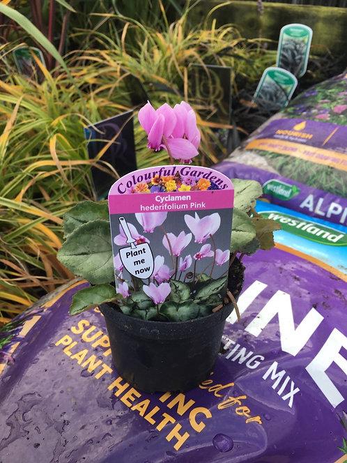 Cyclamen 'hederifolium Pink' 9cm