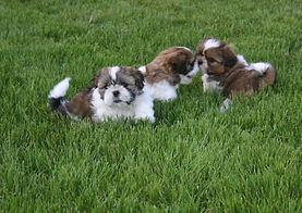 20150428 Coco Pups, Butcher 317.jpg