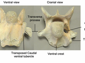 The Congenital Malformation of the 6th and 7th Cervical Vertebrae in Horses