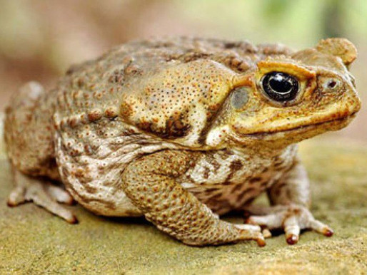 Cane toads are back!