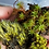 Thumbnail: Live Moss - Mixed Varieties
