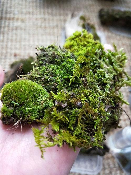 Live Moss - Mixed Varieties