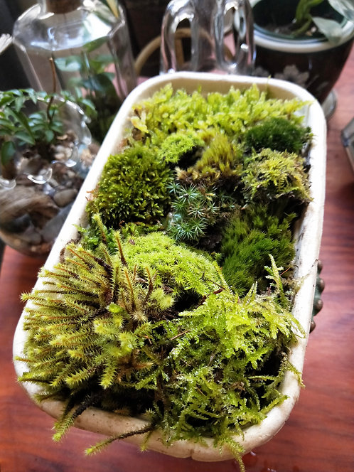 Live Moss - Large Pack of Mixed Varieties