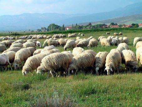Koyunculuktan sığırcılığa tarımı nasıl bitirdik