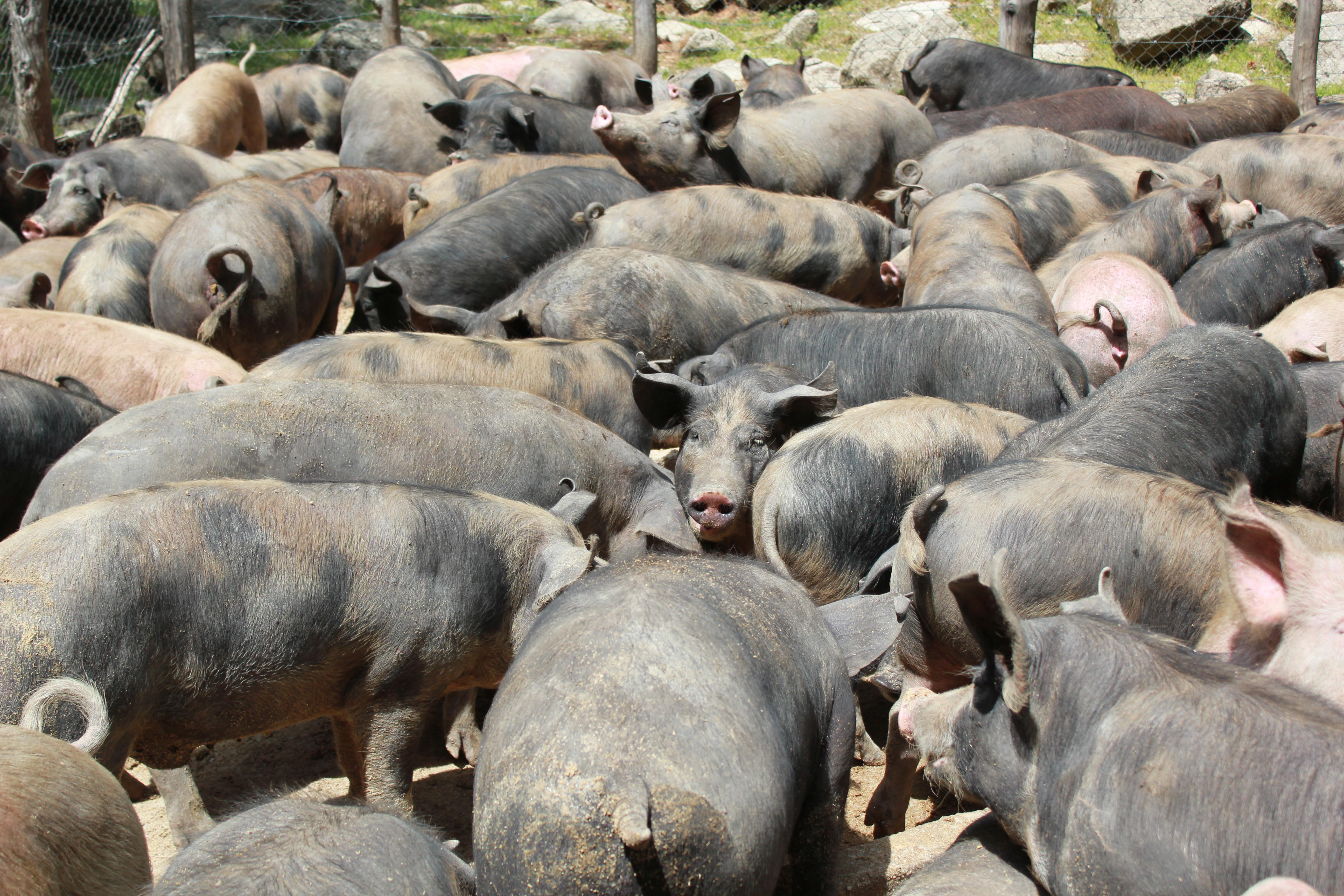 rassemblement des cochons