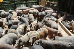 enclos des cochons