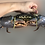Thumbnail: Male Live Mud Crab