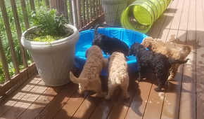 pups playing in pool on deck