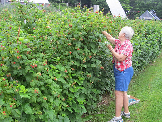 Picking raspberries at Fruitlands Berry Farm