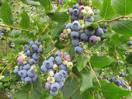 Organic blueberries at Fruitlands Berry Farm