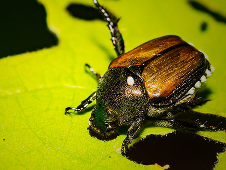 What is the bling on those Japanese beetles?