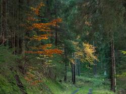 Herbstfärbung im Wald