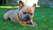 french-bulldog-4452293__340.webp