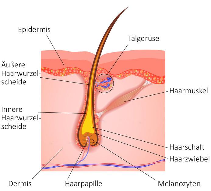Querschnitt eines Haarfollikels