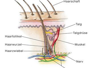 Anatomie der Haare - Teil 1