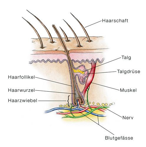 Querschnitt einer Haarwurzel