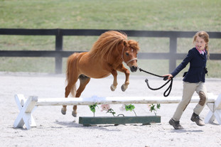 Minature Horse Hunter Over Fences.jpg