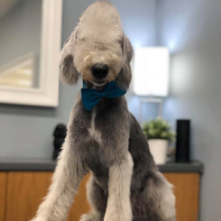 Oliver the Bedlington Terrier
