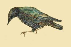 Portobello Starling