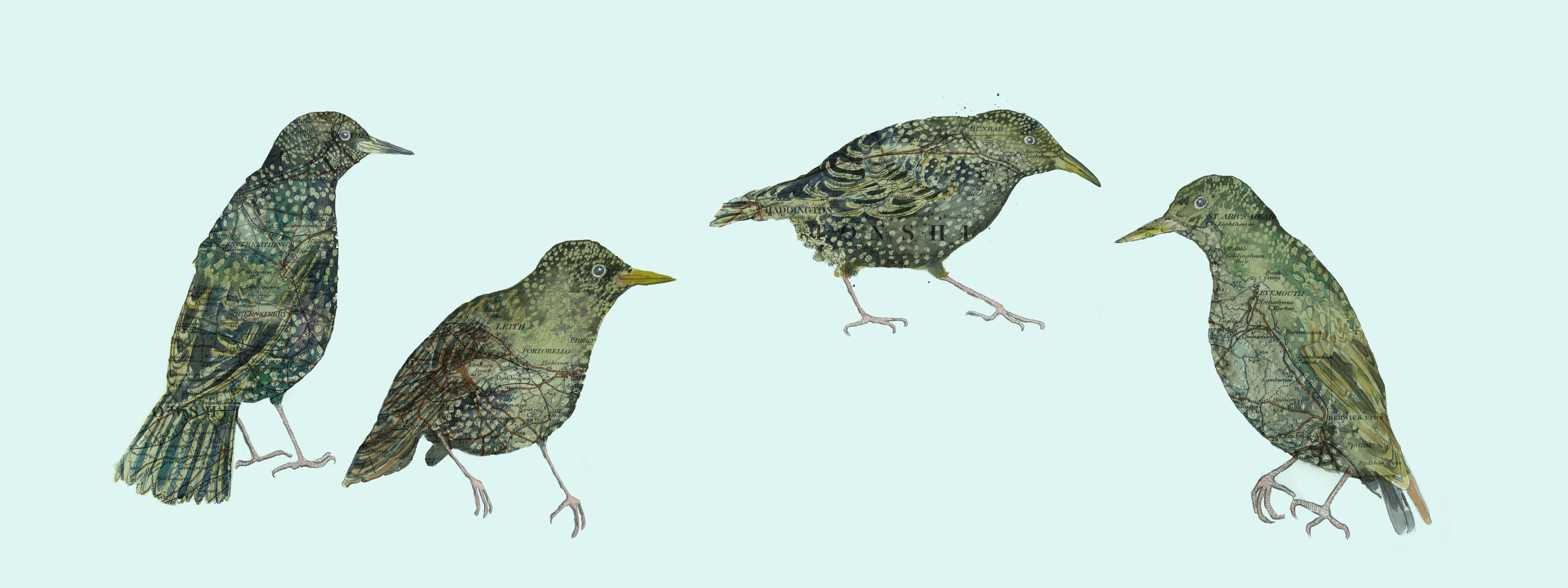 Coastal Starlings