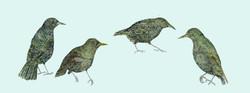 Coastal Starlings