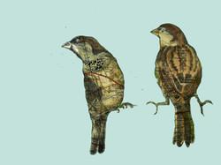 Forth Bridge Sparrows