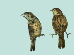Forth Road Bridge Sparrows