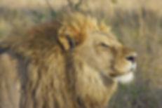 big-cat-blur-carnivore-46795.jpg