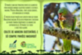 Pinhão- Colete de maneira sustentável e só compre pinhões maduros!