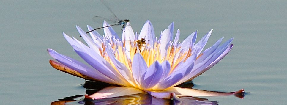 Okavanago Waterlily