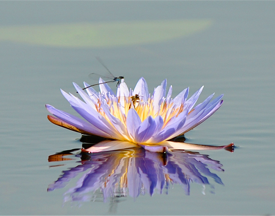 Okavanago Waterlily