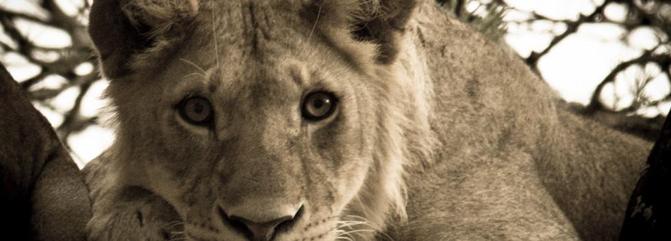 Lion Interrupted