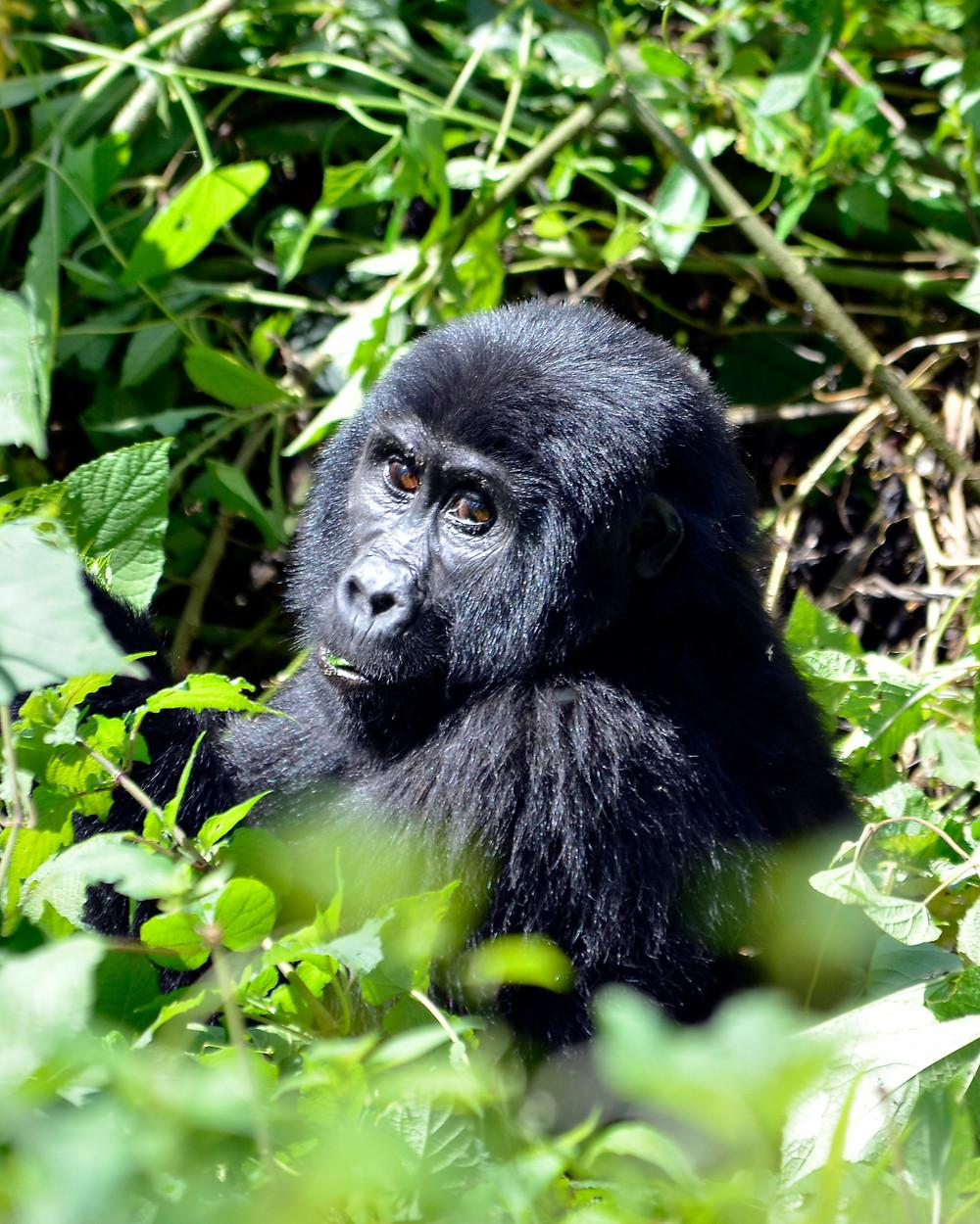 """ Blackback Gorilla .jpg"