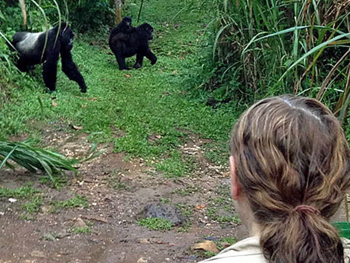 Mountain Gorilla Encounter