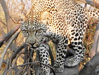 Eye to Eye with a Leopard