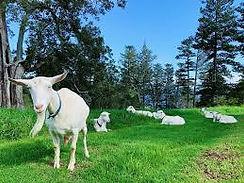 Hilli Goat Farm.jpg