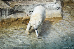 Polar bear catching fish at Toronto Zoo