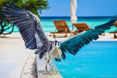 Heron chasing a bird at the resort in Maldives, summer 2016