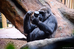 Gorilla figuring out a toy at Toronto Zoo